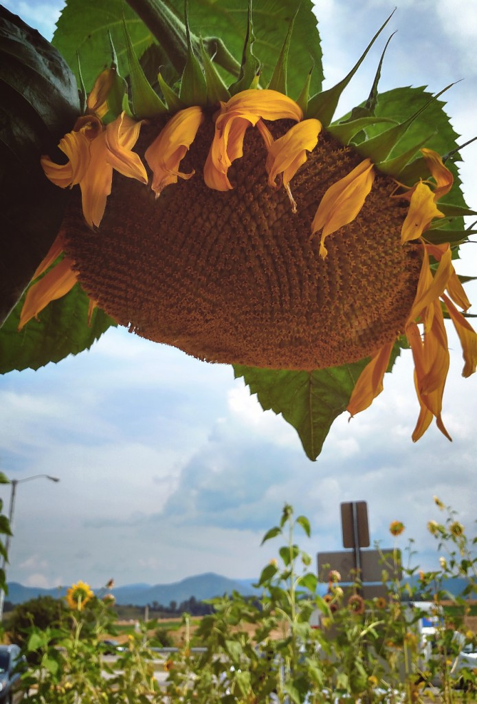 sunflowermountains